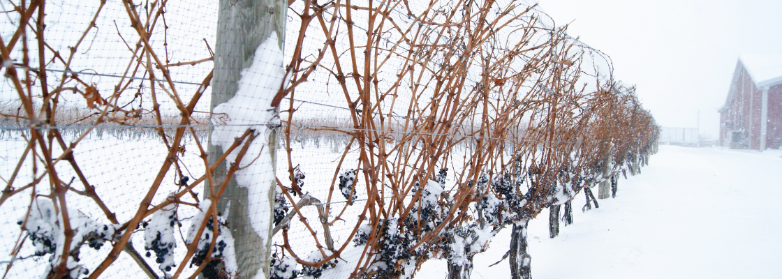 Our Vineyard in the Winter